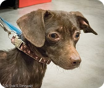 Chihuahua Mix Dog for adoption in Loudonville, New York - Choco. (Salsa)