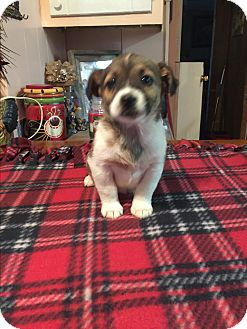 Jack Russell Terrier/Jack Russell Terrier Mix Puppy for adoption in Kittery, Maine - Bruno