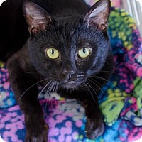 Adopt A Pet :: Shadow - Greenwood, SC