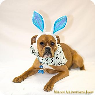 Boxer Dog for adoption in Scarborough, Maine - Poppy