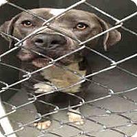 Pit Bull Terrier Mix Dog for adoption in San Bernardino, California - URGENT on 3/9 SAN BERNARDINO