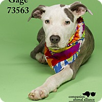 Adopt A Pet :: Gage - Baton Rouge, LA