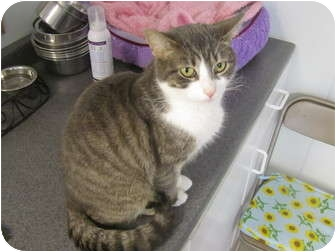 Domestic Shorthair Cat for adoption in Pascoag, Rhode Island - Violet