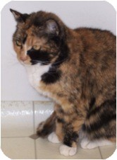 Domestic Shorthair Cat for adoption in El Cajon, California - Firecracker
