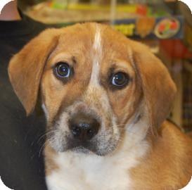Shepherd (Unknown Type)/Beagle Mix Puppy for adoption in Brooklyn, New York - Kody