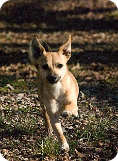 Chihuahua/Terrier (Unknown Type, Small) Mix Dog for adoption in Greensboro, Georgia - lyndon- adopted!