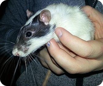 Rat for adoption in Lakewood, Washington - Possum