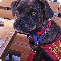 Adopt A Pet :: Bug - Gilbert, AZ