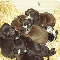 Adopt A Pet :: Lola lab puppies - Pompton Lakes, NJ