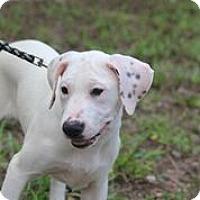 Adopt A Pet :: Bianca - Sarasota, FL