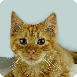 Domestic Longhair Kitten for adoption in Columbia, Illinois - Cornell