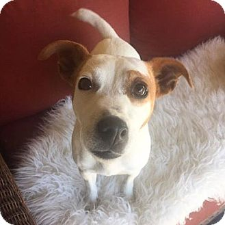 Jack Russell Terrier Mix Dog for adoption in santa monica, California - Sonny