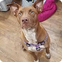 Adopt A Pet :: Co Co - Laingsburg, MI