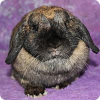 Lop, Holland for adoption in Wilmington, North Carolina - Fern