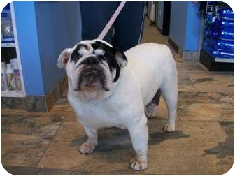 English Bulldog Dog for adoption in Gilbert, Arizona - Scarlett