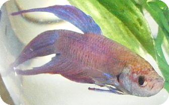 Fish for adoption in Kensington, Maryland - Betta