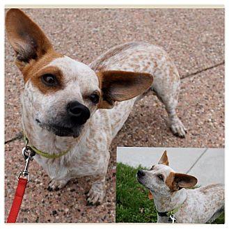 Corgi/Basset Hound Mix Dog for adoption in Garden City, Michigan - Cinnamon