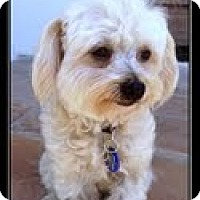 Adopt A Pet :: Amber - Ft. Bragg, CA