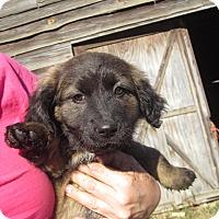 Adopt A Pet :: Vixen - Wilmington, DE