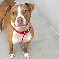 American Pit Bull Terrier/American Staffordshire Terrier Mix Dog for adoption in Detroit, Michigan - Macy- Urgent Foster Needed!