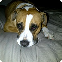 Boxer Mix Dog for adoption in Santa Monica, California - Carmela