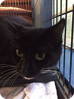 Domestic Shorthair Cat for adoption in Porter, Texas - Ella
