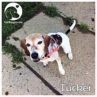 Beagle Mix Dog for adoption in Pittsburgh, Pennsylvania - Tucker