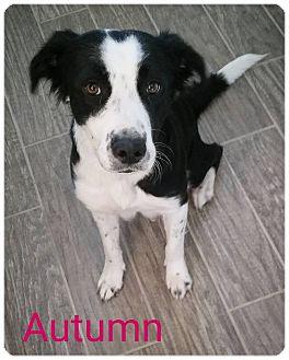 Border Collie Mix Dog for adoption in Allen, Texas - Autumn