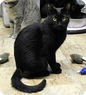 Domestic Shorthair Cat for adoption in Montgomery City, Missouri - Scarlet