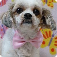 Adopt A Pet :: Blossom - Overland Park, KS