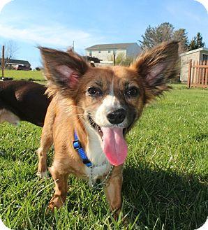 Chihuahua/Papillon Mix Dog for adoption in Hanover, Pennsylvania - Hunny Bunny