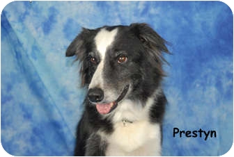 Border Collie Dog for adoption in Ft. Myers, Florida - Preston