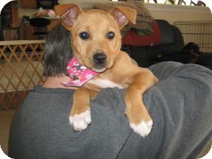 Labrador Retriever/Boxer Mix Puppy for adoption in Marlton, New Jersey - Baby Abby