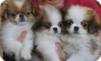 Japanese Chin Puppy for adoption in Little Rock, Arkansas - JAPANESE CHIN PUPS- Bryant, AR