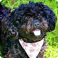 Adopt A Pet :: Domino - Albany, NY