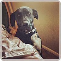 Adopt A Pet :: Hendrix- courtesy - Scottsdale, AZ