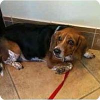 Adopt A Pet :: Duke Dawg - Phoenix, AZ