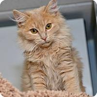 Adopt A Pet :: Mufasa - Davis, CA