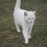 Domestic Shorthair Cat for adoption in Sistersville, West Virginia - Bell