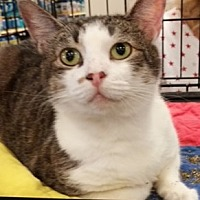 Domestic Shorthair Cat for adoption in Cocoa, Florida - Lizzy