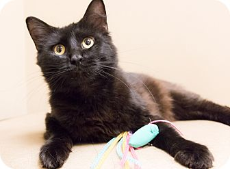 Bombay Cat for adoption in Chicago, Illinois - Frenchie