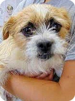 Cairn Terrier/Border Terrier Mix Dog for adoption in Boulder, Colorado - Nugget-ADOPTION PENDING