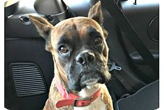 Boxer Dog for adoption in Hurst, Texas - Natasha