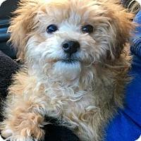 Adopt A Pet :: Petey - Flushing, NY