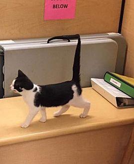 Domestic Shorthair Kitten for adoption in Trexlertown, Pennsylvania - Lindy