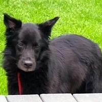 Flat-Coated Retriever Mix Dog for adoption in Rockaway, New Jersey - Maggie Gaston