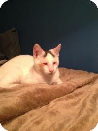 Domestic Shorthair Cat for adoption in New York, New York - Larry