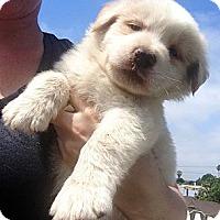 Adopt A Pet :: BLIZZARD - Inglewood, CA