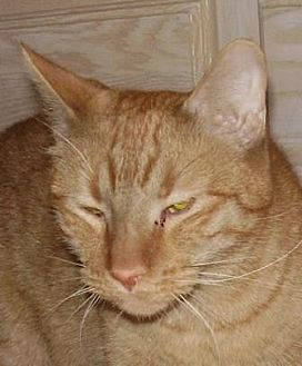 Domestic Shorthair Cat for adoption in Westminster, Colorado - O'Malley