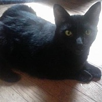 Domestic Shorthair Cat for adoption in Ceres, Virginia - Midnight